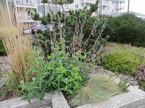 On Sid Snyder, we cut back the old foliage from behind new flowers on the Echinops (blue globe thistle)