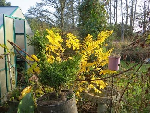 Robinia pseudoacacia 'Frisia' all aglow