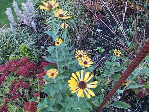 some sort of rudbeckia?