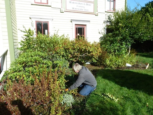 cutting back the lysimachia