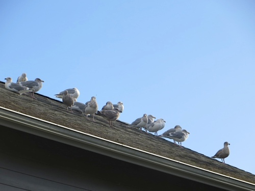 Allan's audience on the roof next door.