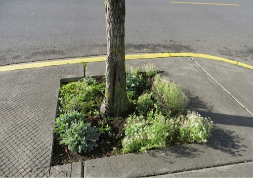 A few of the sparser street tree gardens got a couple of catmint added.