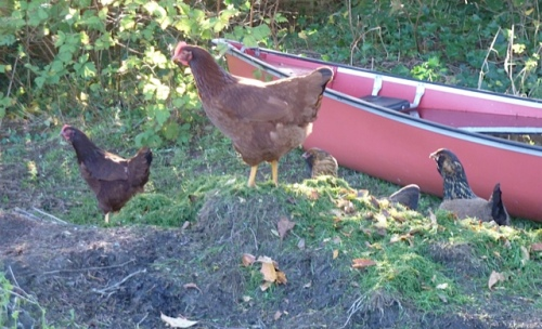 hens, and a kayak filled with rain water
