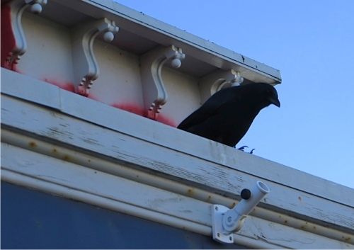 A crow watches from the roof of Stormin' Norman's kite shop.