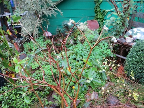 My Edgeworthia rubra has buds already.