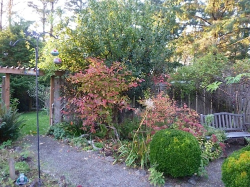 in the fenced garden, fall colour from blueberries