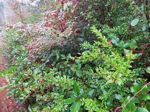 roadside greenery across the street (cotoneaster, evergreen huckleberry, salal)