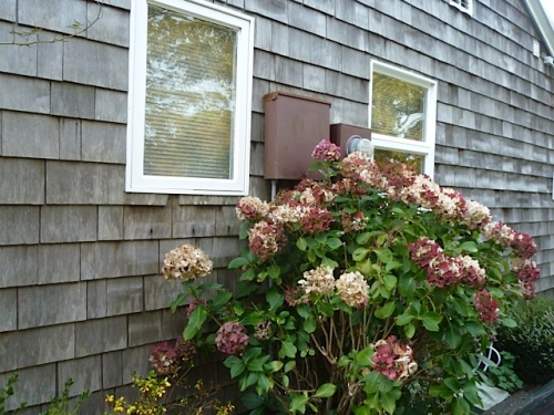 hydrangea on an east cottage wall