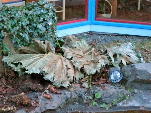 after cutting down the frosted Gunnera leaves, and laying some leaves to protect the crown of the plant over winter.
