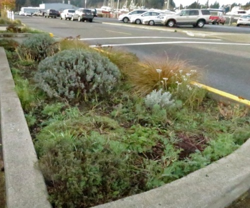 and after photos.  Most of the low feathery foliage is of California poppies.