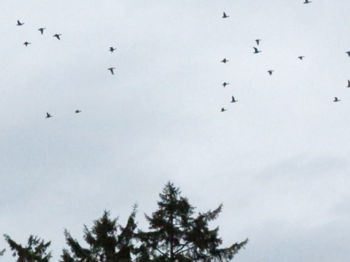 a flock of geese leaving as I drifted downwind toward them.