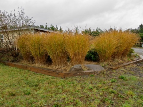 a planting of ornamental grass in glowing autumnal colours, even in the rain (Allan's photo)