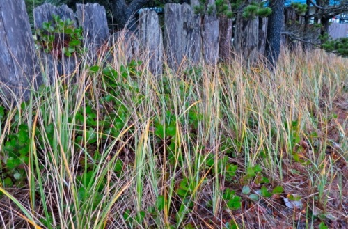 Allan nipped across the street to get a photo of a driftwood fence with beach grass and salal.