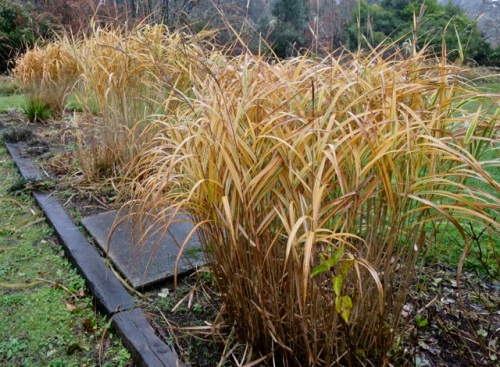Miscanthus variegatus behind the gallery (Allan's photo)