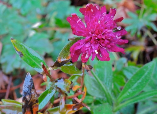 and found a Knautia still blooming.