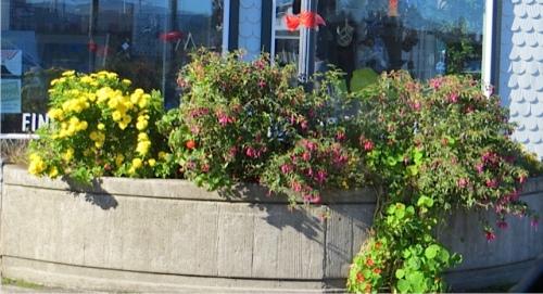 chrysanthemums and hardy fuchsias