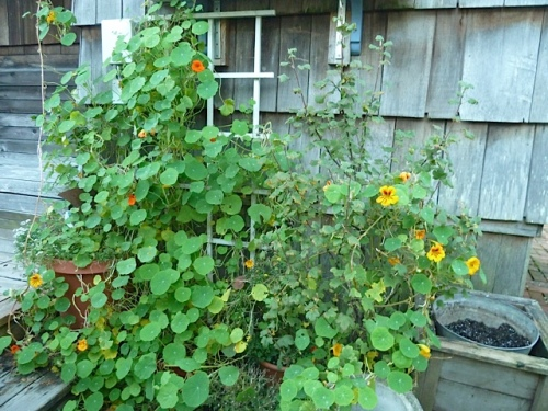 nasturtiums still blooming and clambering
