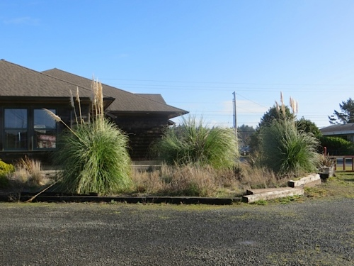 view from Great Escape coffee window.  I have issues with pampas grass.  However, these look pretty fine right now.