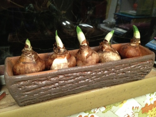 I planted the paperwhites in marbles and water on the kitchen windowsill.