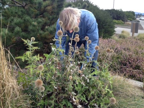 I couldn't bear to totally cut down the blue globe thistle as it still looks fine, so Allan just clipped a few dead stalks.