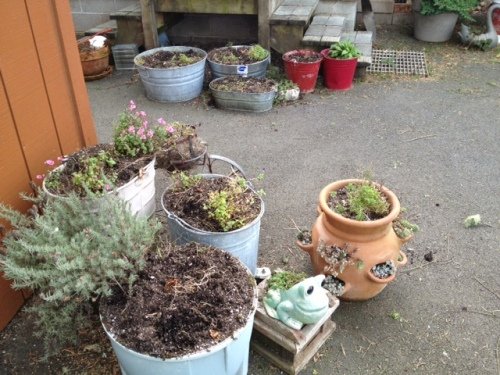 The pots are stuffed with bulbs for next spring.