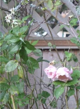 Autumn roses at Jo's