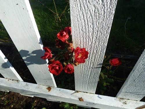 a red rose blooming inside the fence...Unfortunately, deer now eat all the roses on the outside the fence.