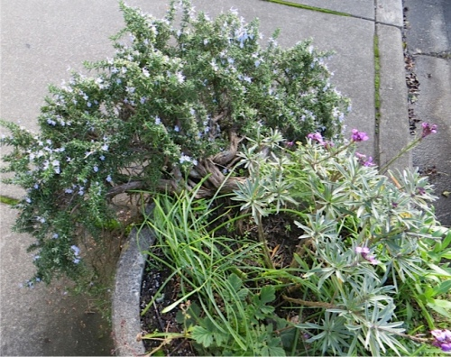 trailing rosemary blooming now in one of the planters (with Erysimum 'Bowles Mauve')