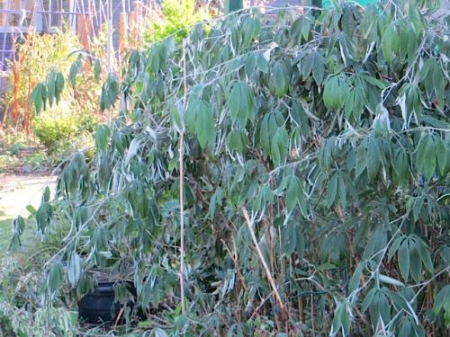 Rubus linneatus took a blast of frost.