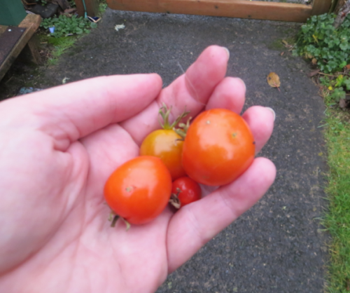 We have but one small tomato left of the last handful that I brought in before the cold night.