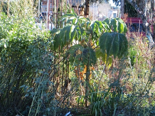 Tetrapanax looks a little droopy.