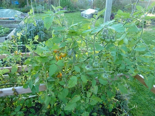 Tomatoes.  Outdoors.  In November.