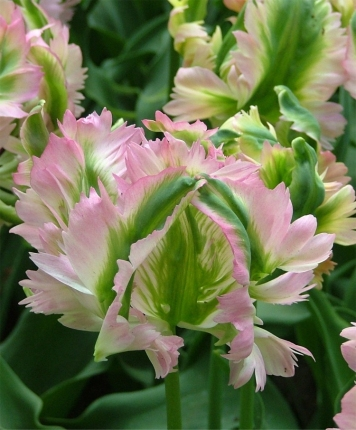 And best of all, parrot tulip 'Green Wave', a very late bloomer