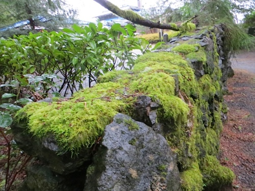 a mossy wall at the hydrangea house.