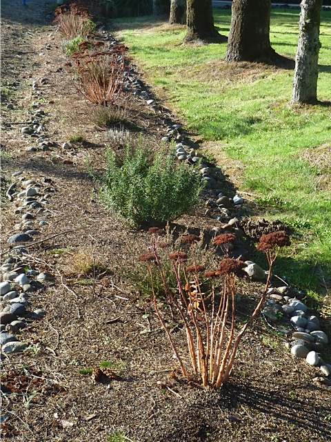 Sedum 'Autumn Joy' putting on a good winter show in Diane and Larry's roadside bed.