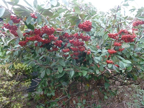 a cotoneaster right by the house