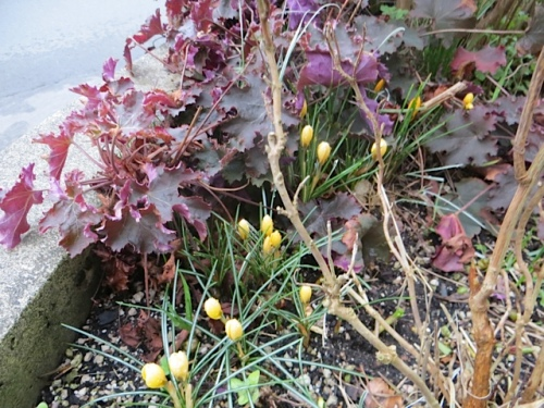 planter with crocus and heuchera