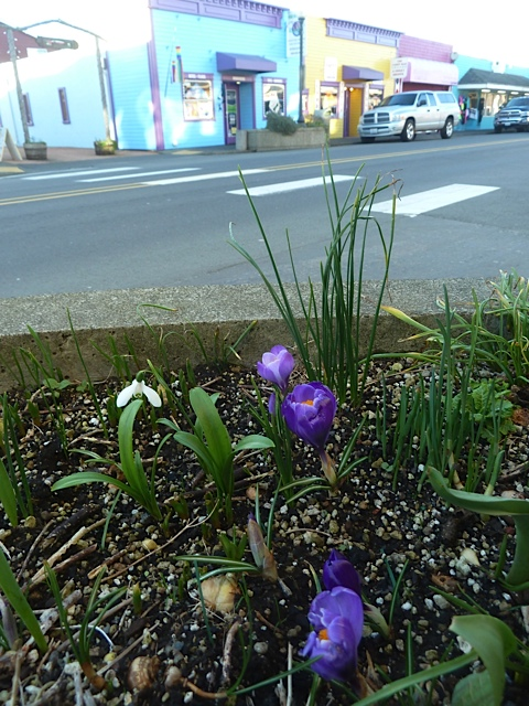 crocus in a city planter