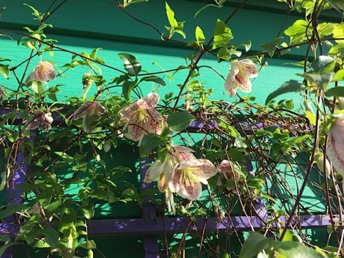 Clematis 'Freckles' has been blooming for week after winter week.