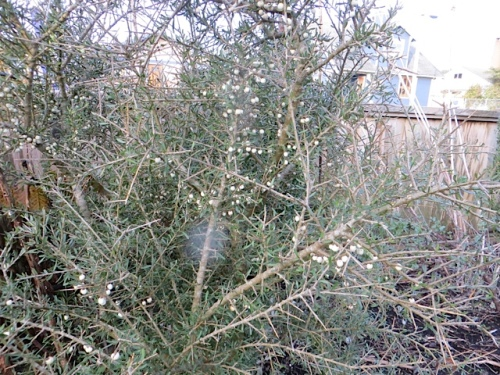 in the middle of the front border, a shrub of mystery still has white berries.