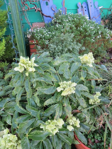 Hellebore foetidus in bloom