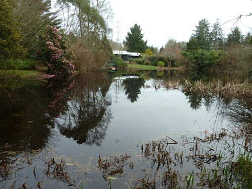 looking east over the pond.  The camellia is to the left.