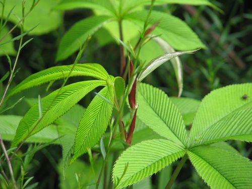 800px-Rubus_lineatus