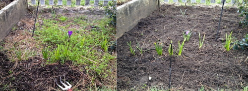 Allan's before and after of the end bed with and without chickweed