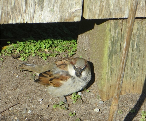This little bird was scratching about under the fence.