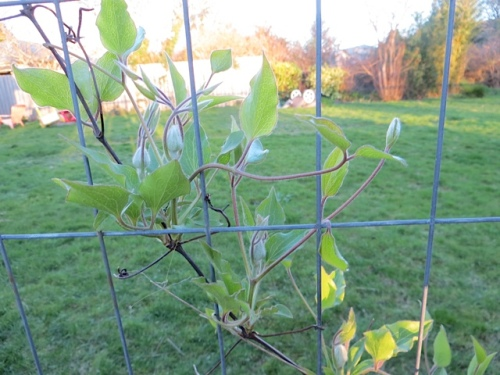 """Seems early for such fat buds on Clematis 'Crystal Fountain', whose tag says """"blooms June through September""""."""