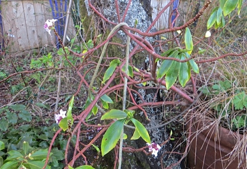 In the front garden, a potted, struggling daphne had put out some incredibly fragrant flowers.