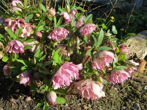 Hellebore, double pink