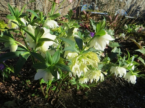 hellebore, double white