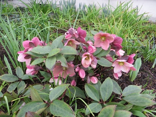 "and a hellebore, which caused a sensation with some passersby.  ""What is that plant?!"""